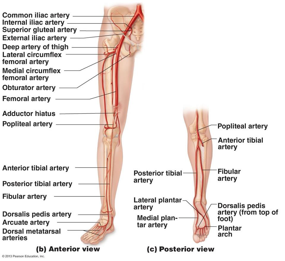 Anatomy of blood vessels lab